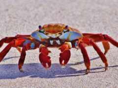 crab, animal, red