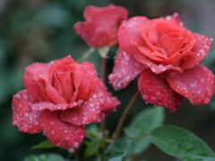 роза, роса, drop