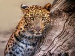 леопард, animal, снег
