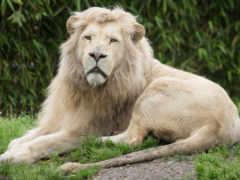 лью, biały, lion