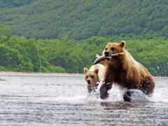 медведь, два, catch