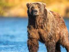 медведь, ноутбук, первую