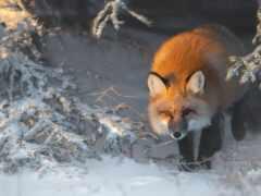 фокс, animal, снег