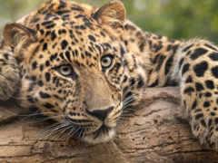 кот, дикая, леопард