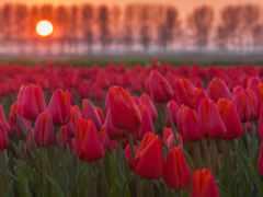 тюльпаны, cvety, поле