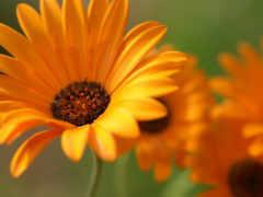 весна, герберы, cvety