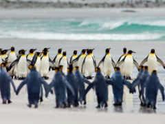 пингвин, penguins, king