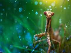 mantis, трава, makryi