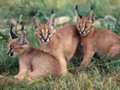 caracal, lynx
