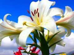 лилии, белые, открытки