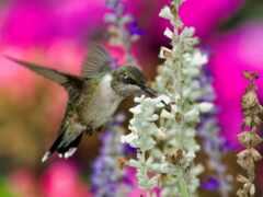 птица, колибри, oir