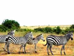 zebra, четверо, winter