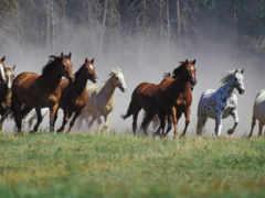 horses, лошадь, wild
