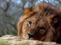 vzglyad, levyi, lion