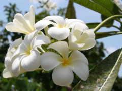 тайланд, цветы