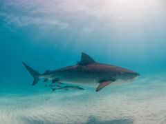 акула, hai, animal