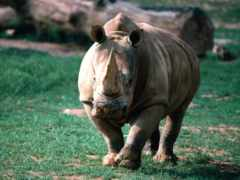 носороги, носорог, rhino