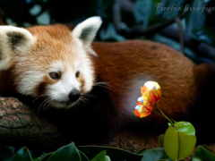 firefox, panda