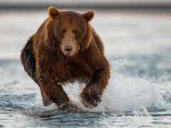 run, медведь, water