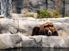 медведь, браун, drop