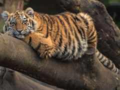 тигр, kot, животное