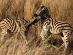 zebra, desktop, зебры