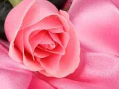 розы, roses, наши