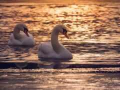 лебедь, птица, озеро