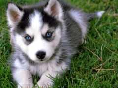 хаски, породы, собака