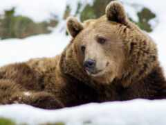 grizzly, медведь, википедия