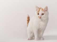 кот, фон, white