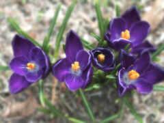 крокус, весна, stoloboi