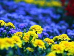 желтые и синие цветы