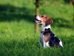 beagle, собака, красивые