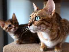 кот, бенгальские, кошки