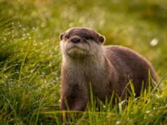 otter, animal, ручей