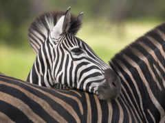 zebra, зебры, animal