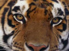 тигр, тигра, взгляд