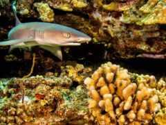 caribbean, риф, акула