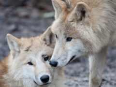 oir, волк, волчица