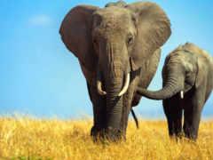 слоны, слон, телефона