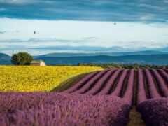 прованс, francii, lavender