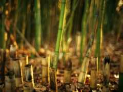 бамбук, stalk, gratis