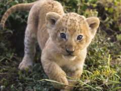 маленький, львенок, zhivotnye