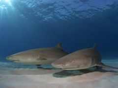 акулы, дно, акула
