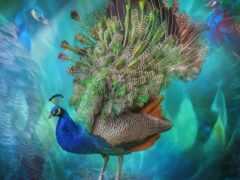 peacock, птица, перышко