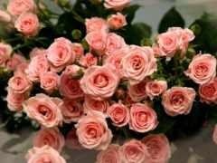 роз, розы, красивые