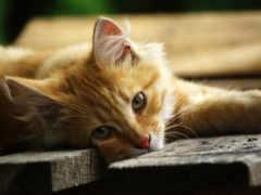 кошка, усы