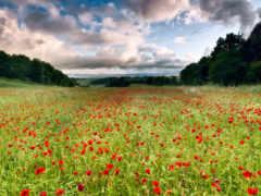 цветы, луг, пейзаж