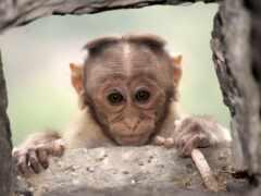 обезьяна, обезьянка, макака